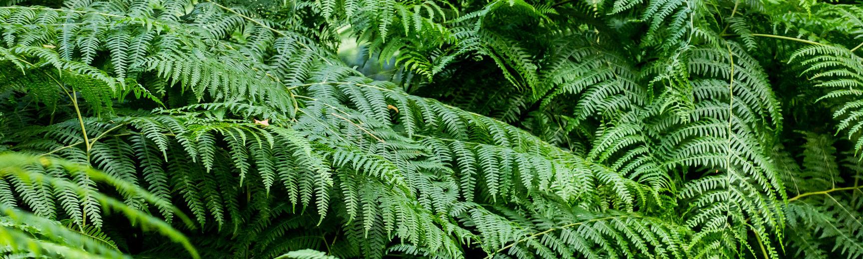 botanical pattern  ferns  arboretum