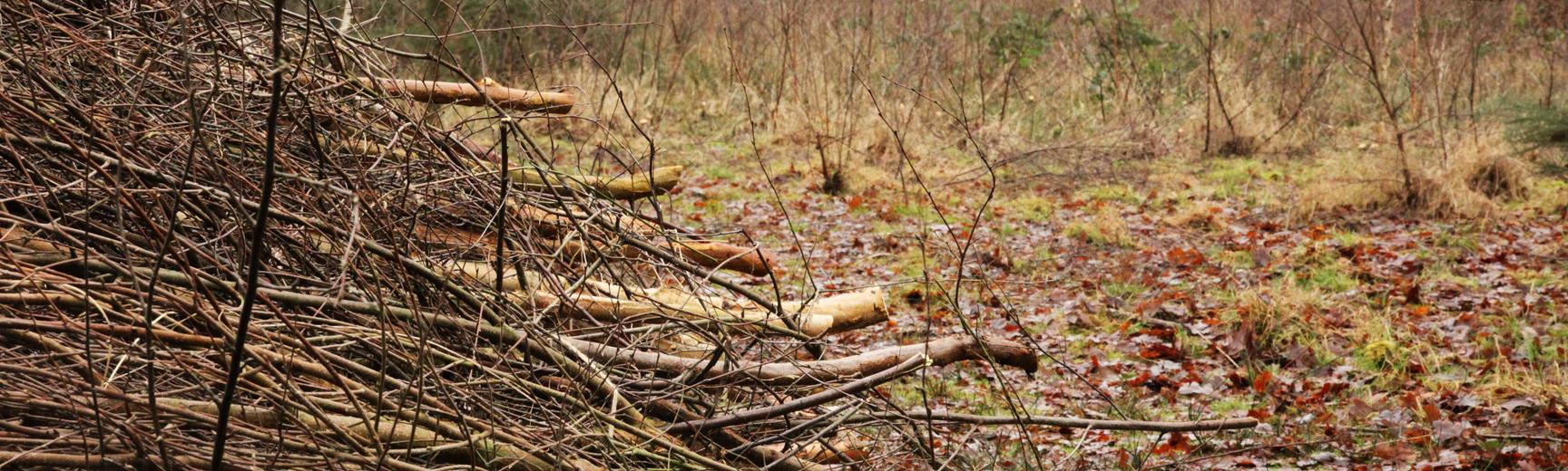 coppiced birch