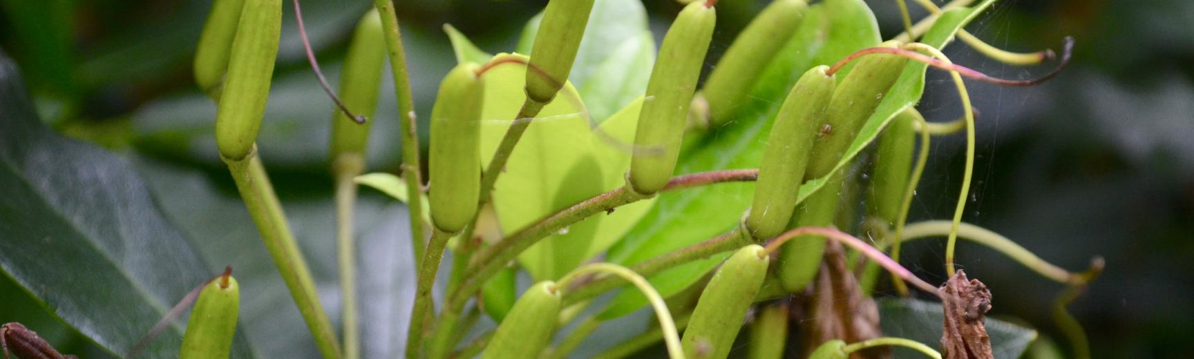 Rhododendron Seeds