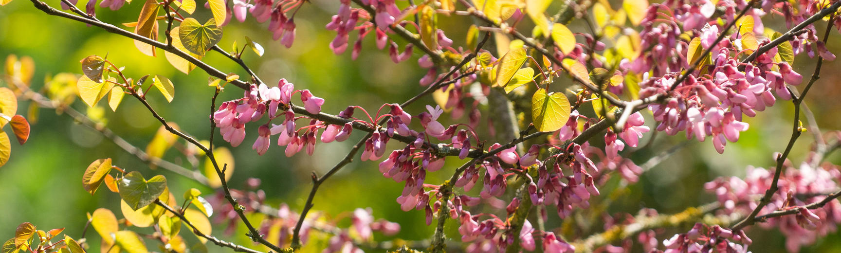 Judas tree - Oxford Botanic Garden