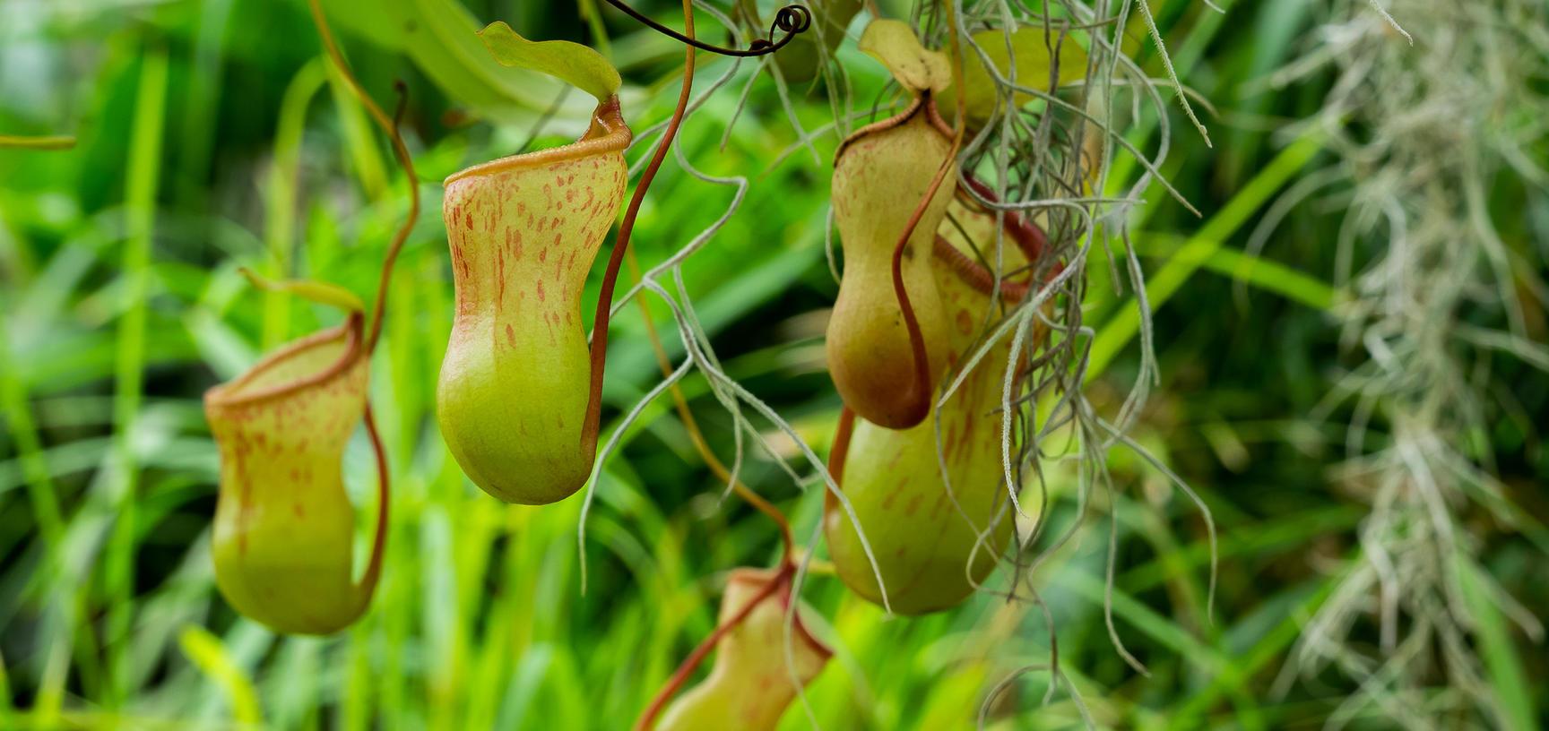 Nepenthes_p1012349.jpg