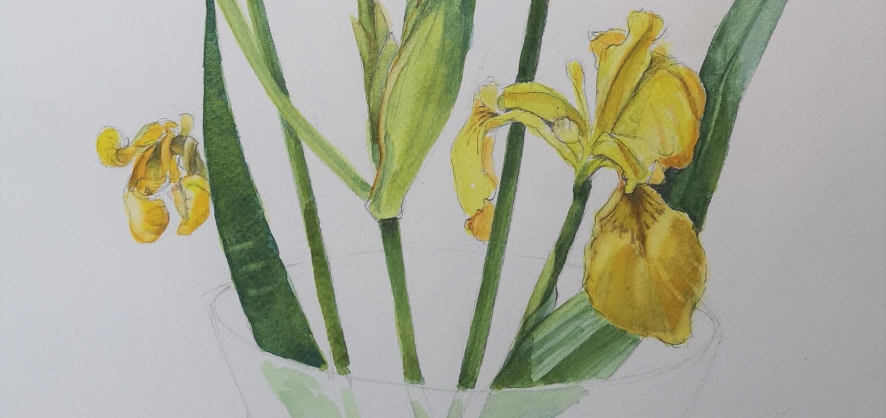 yellow river iris
