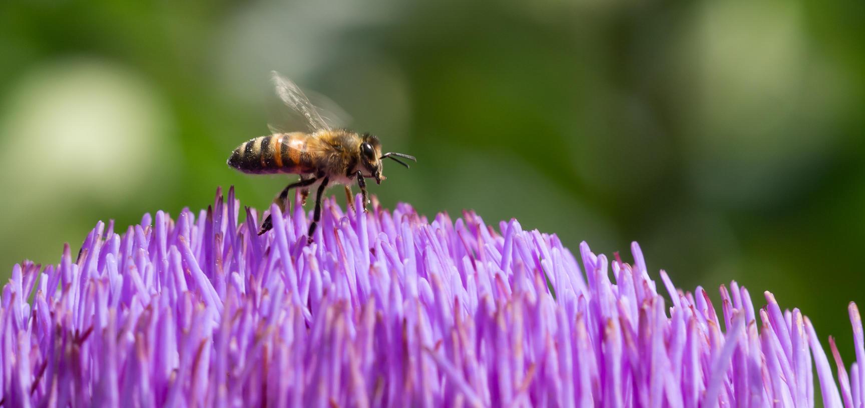 cynara cardunculus  globe artichoke  oxford botanic garden  bee  lower garden  plants that changed the world