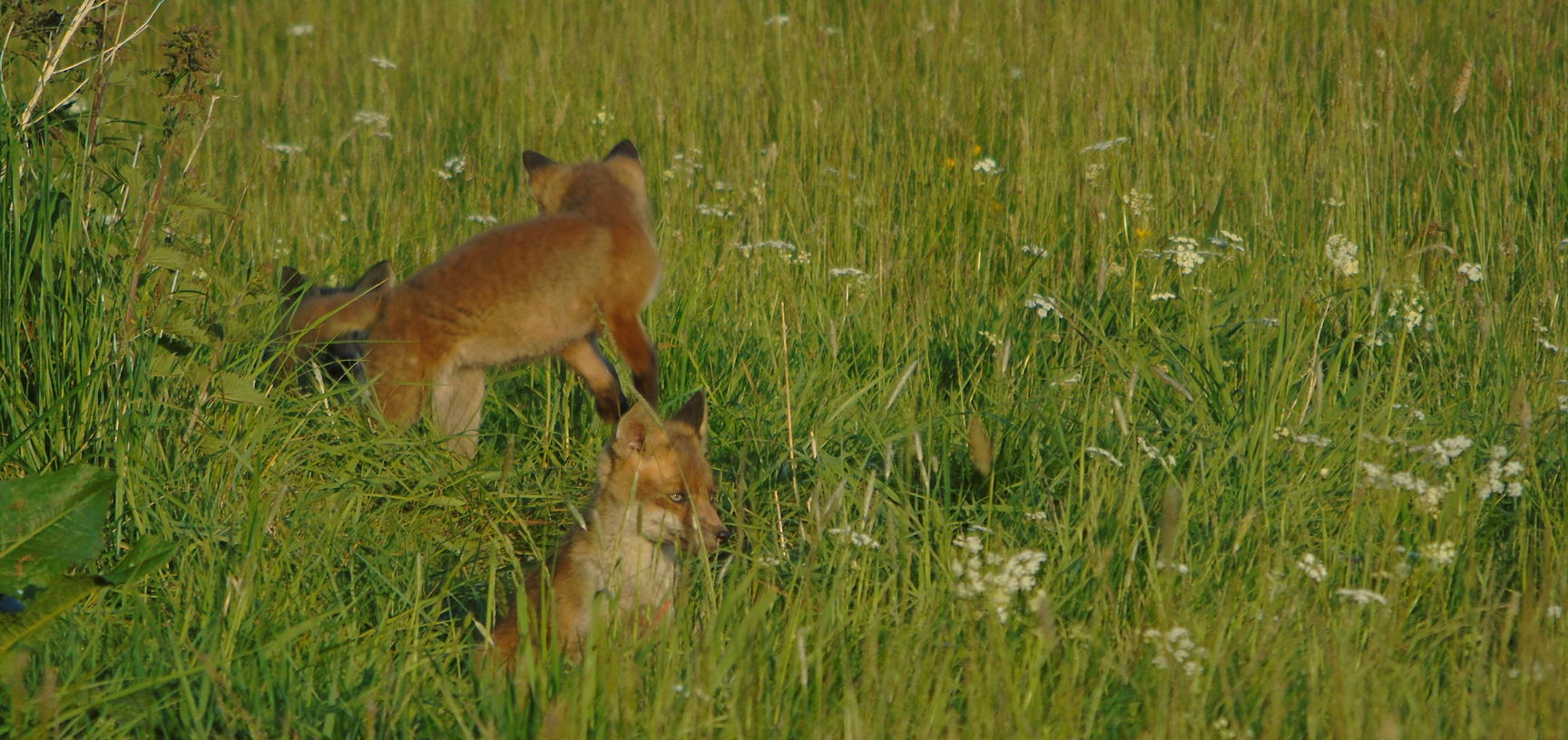 Fox cubs at the Arboretum