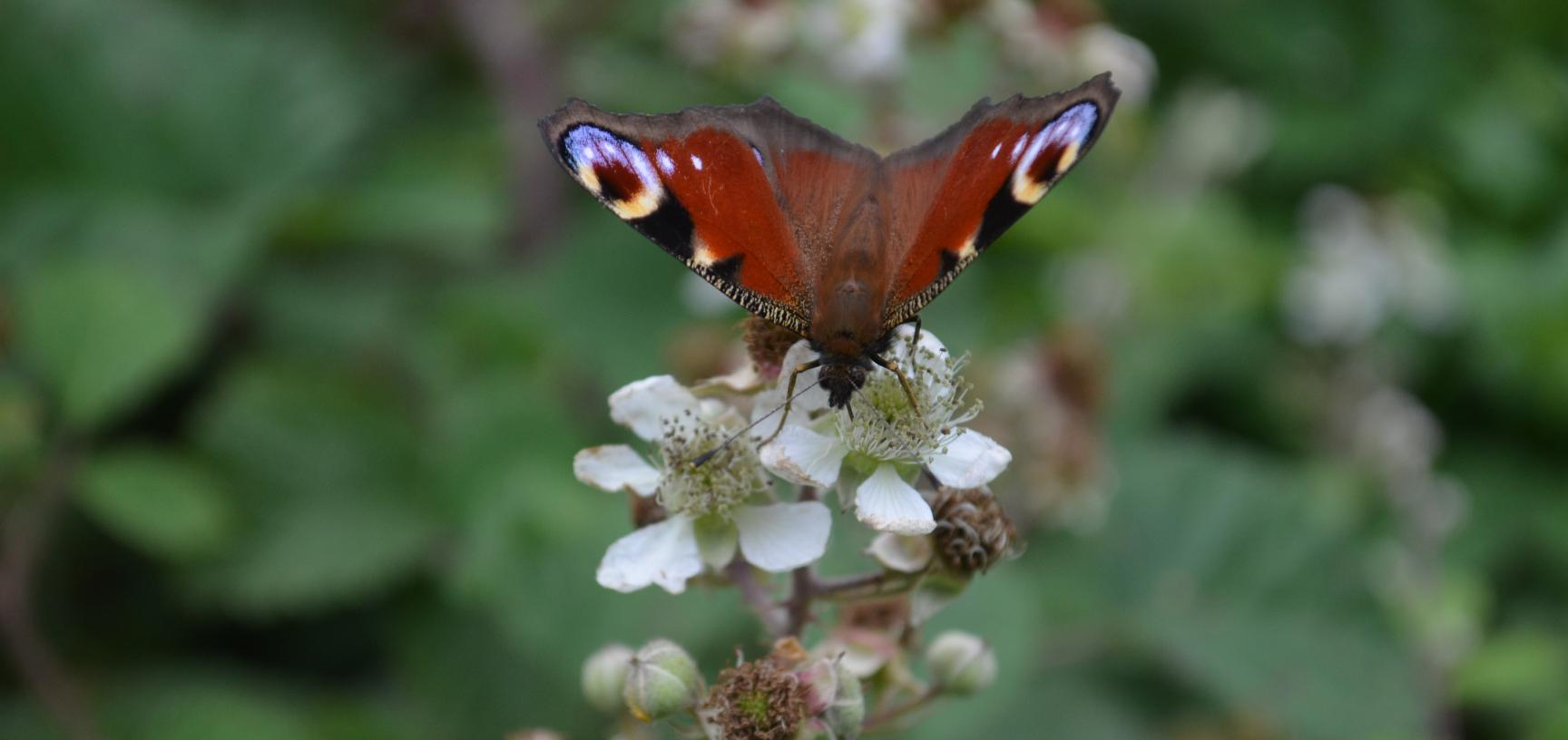 Butterfly in the Coppice