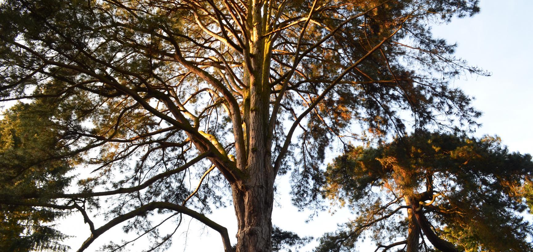 Pinus Nigra Sunset
