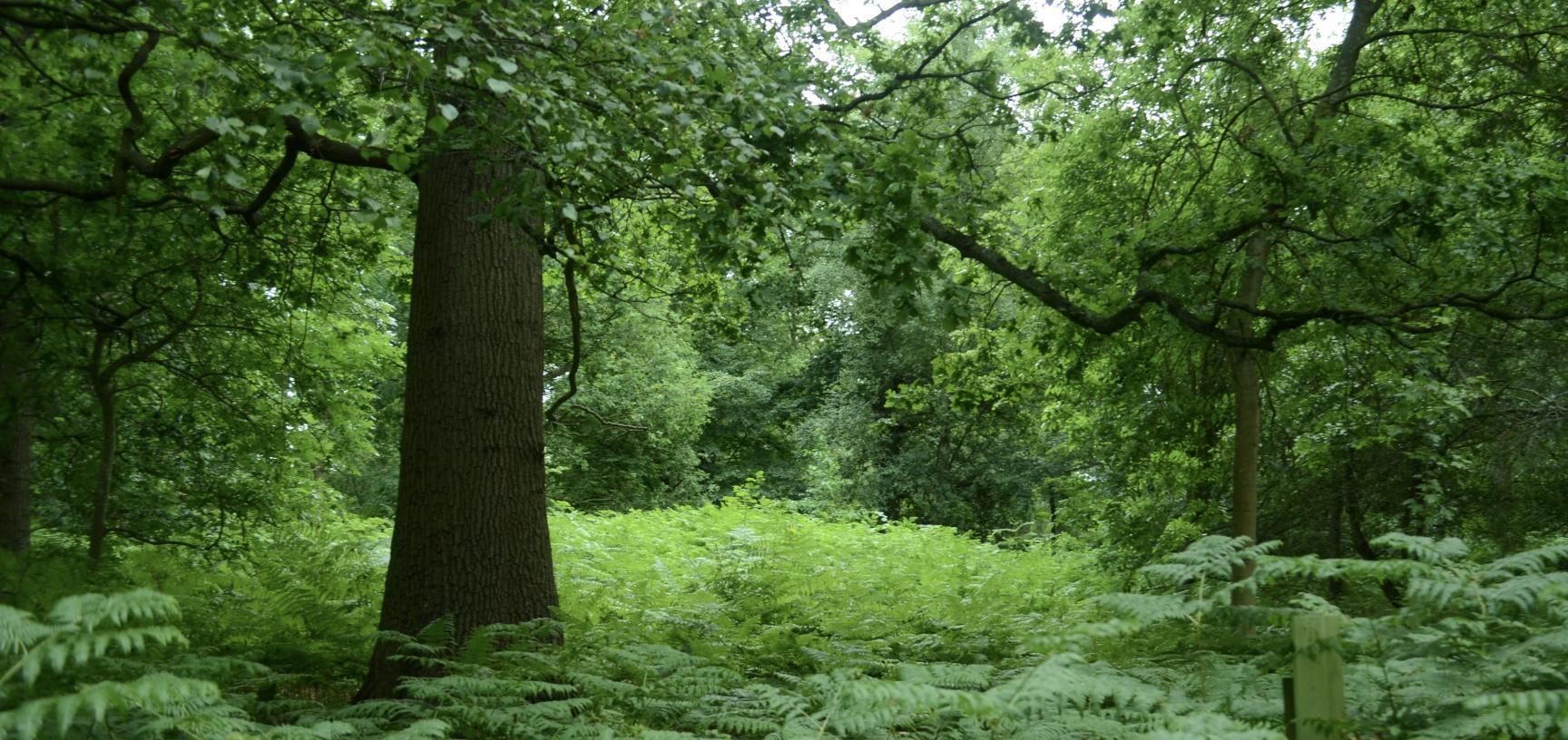 Bracken in Bluebell Wood
