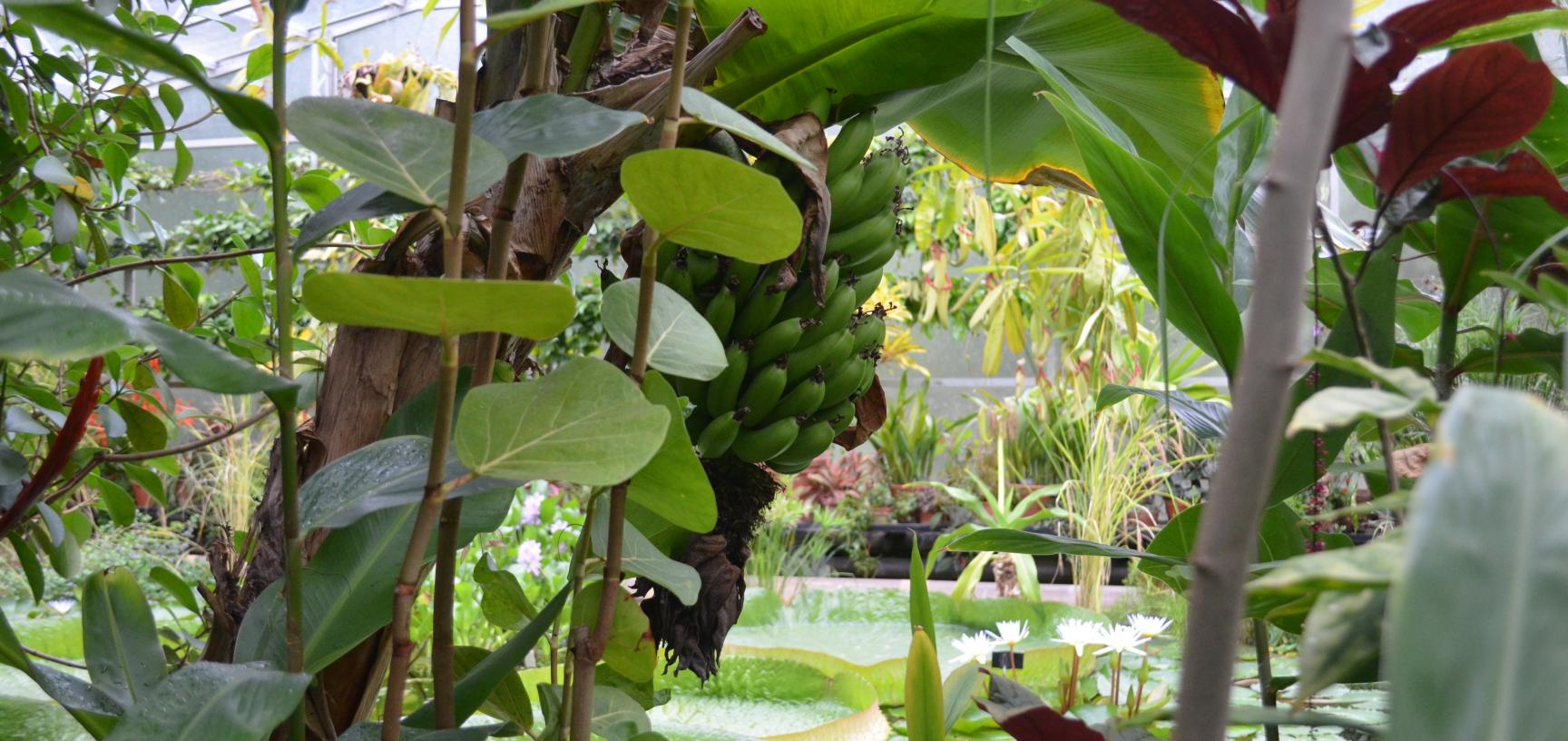 Bananas in the Lily House