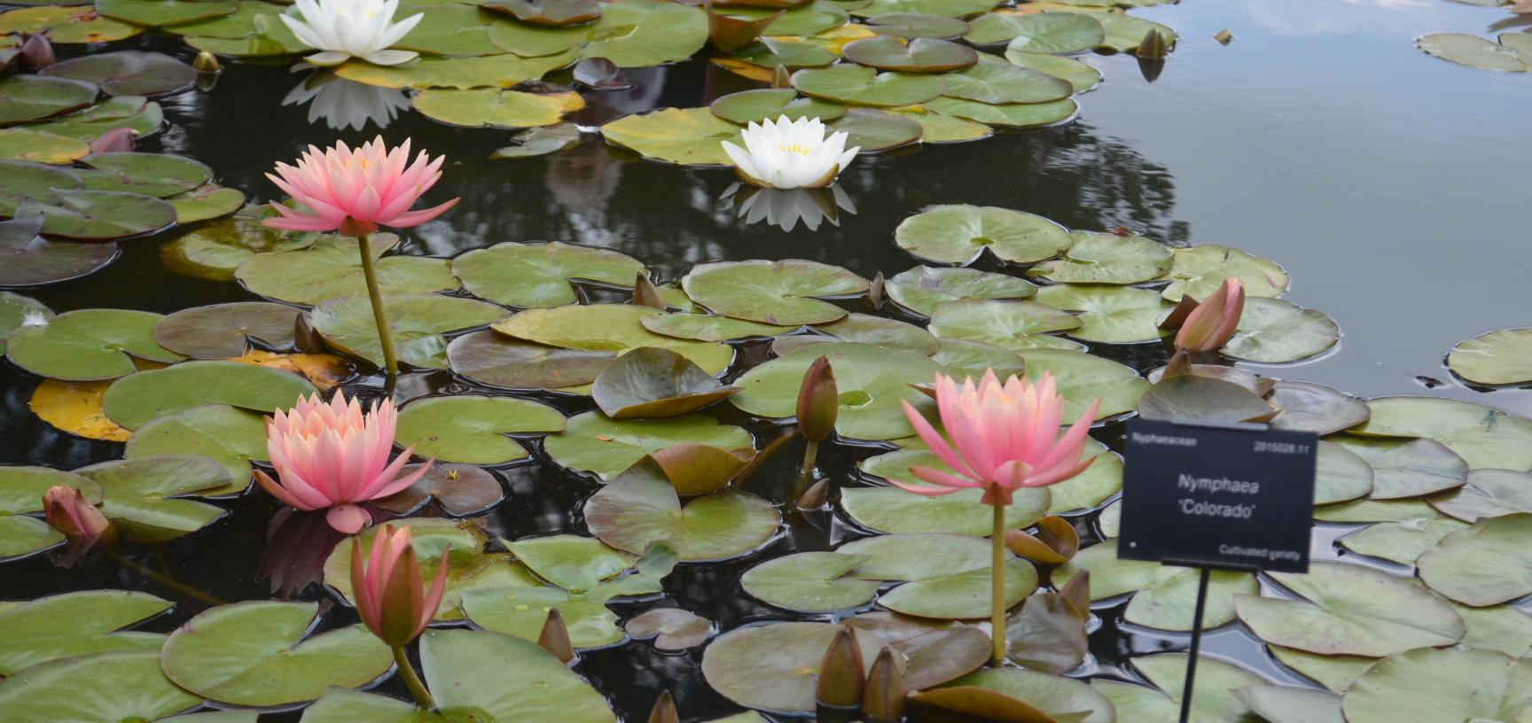 Lily Pond in the Lower Garden
