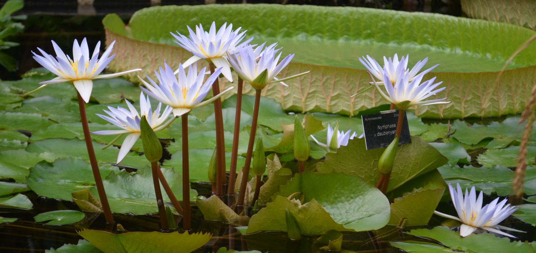 Flowering Waterlilies in the Lily House