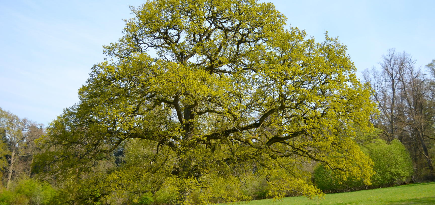 Oak Tree in the Parkland in Spring
