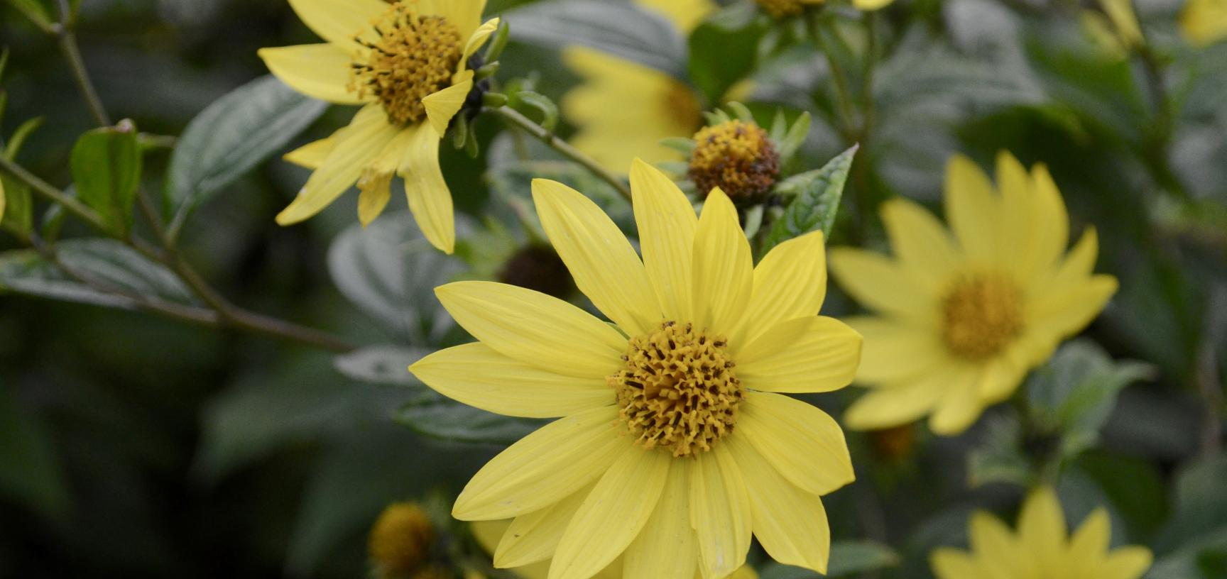 Yellow Flowers in the Walled Garden