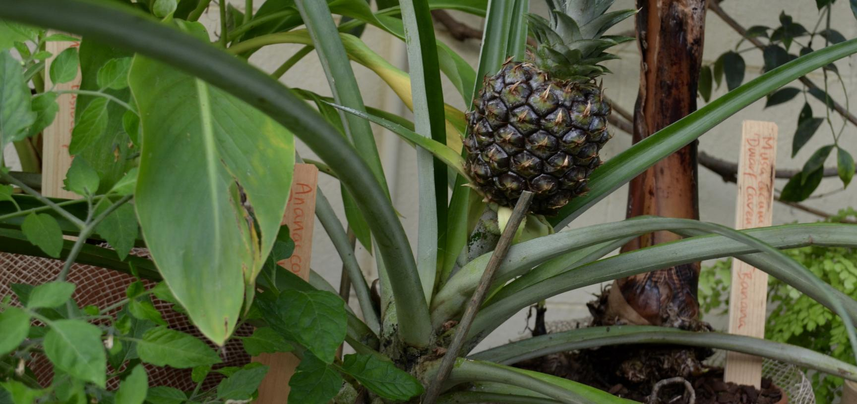 Pineapple in the Conservatory