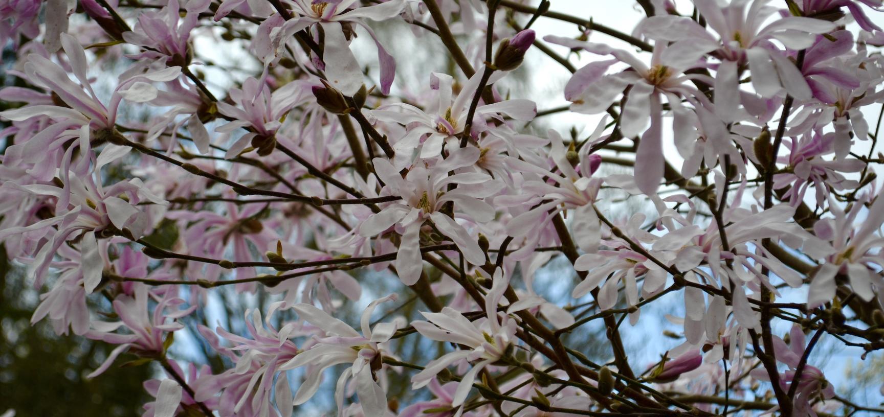 Magnolia × loebneri 'Leonard Messel'