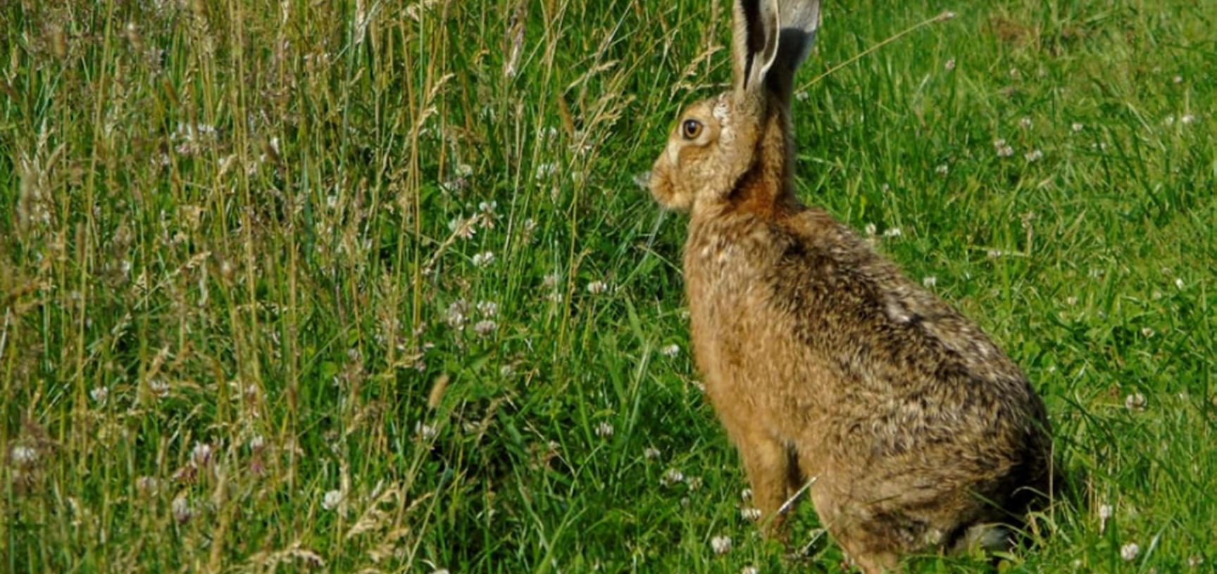 Hare at the Arboretum
