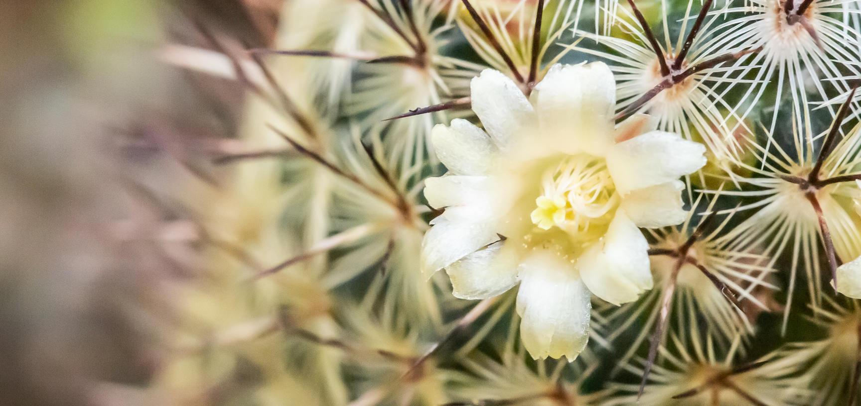 mammillaria decipiens  botanic garden  cactus  arid house  glasshouses p1010455
