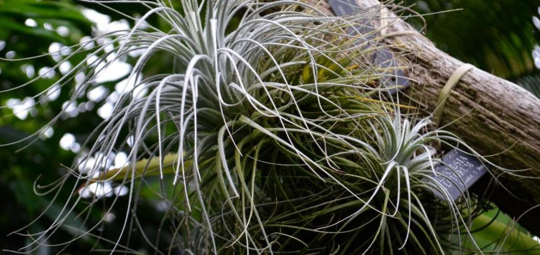 palm house tillandsia tectorum