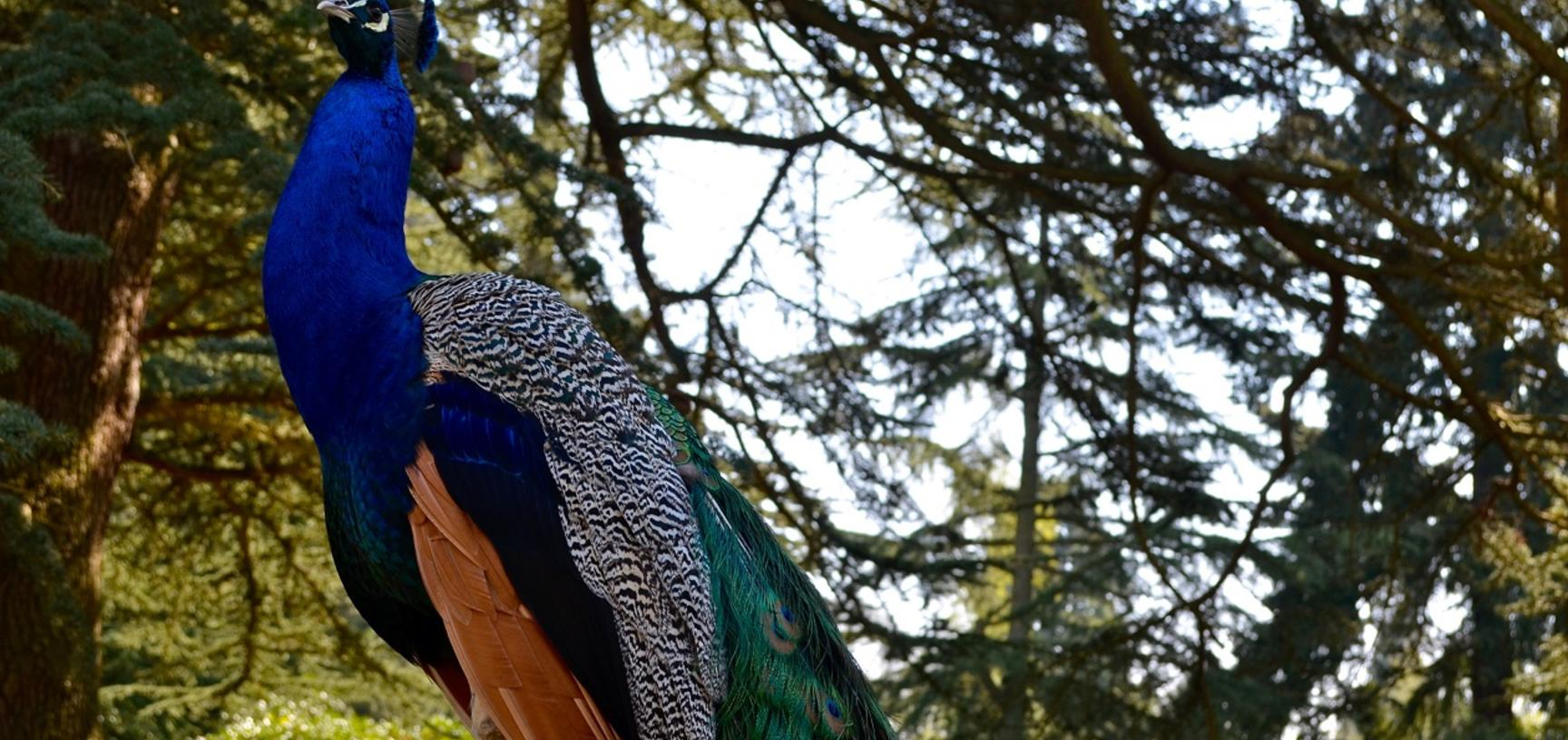 peacock 1 arb
