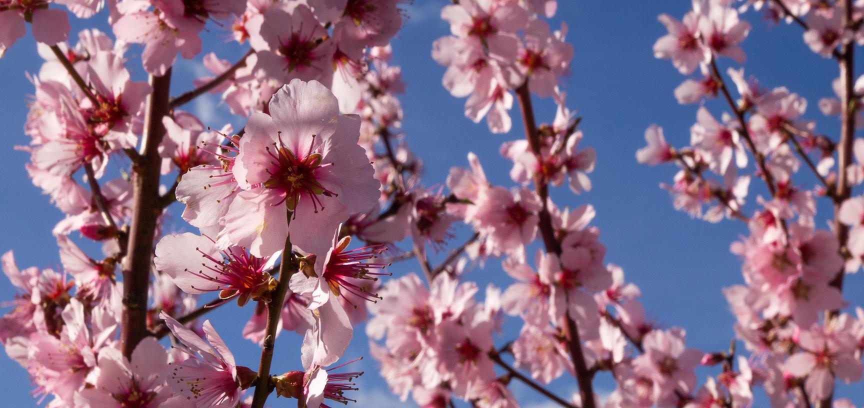 prunus dulcis robin  almond tree  plants that changed the world  lower garden  botanic garden  pattern