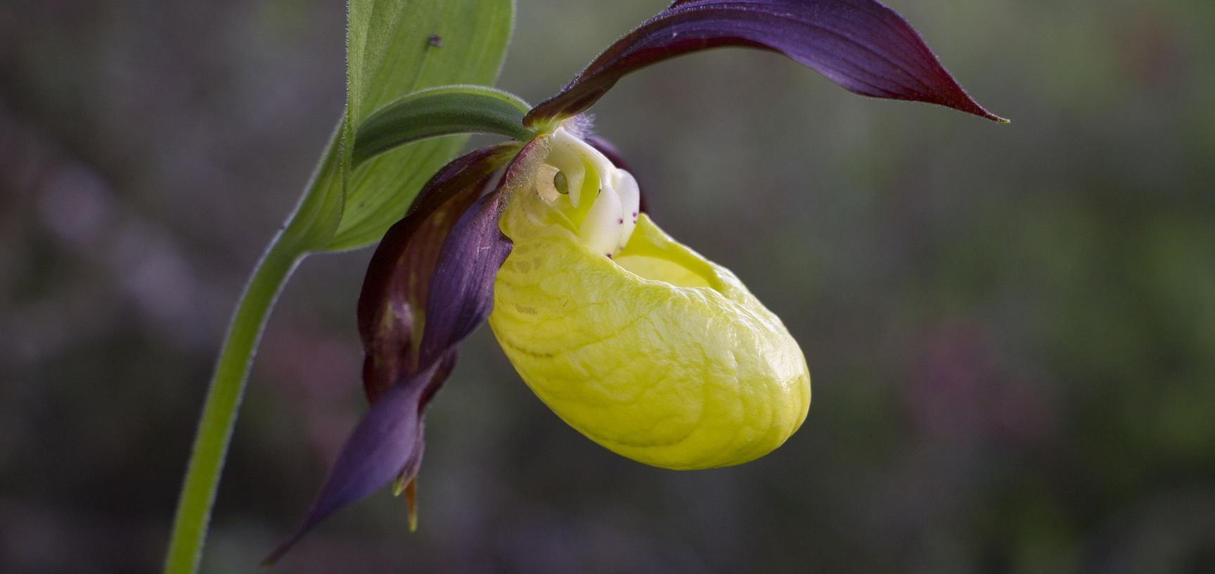 Slipper orchid image by Tatjana Posavec from Pixabay