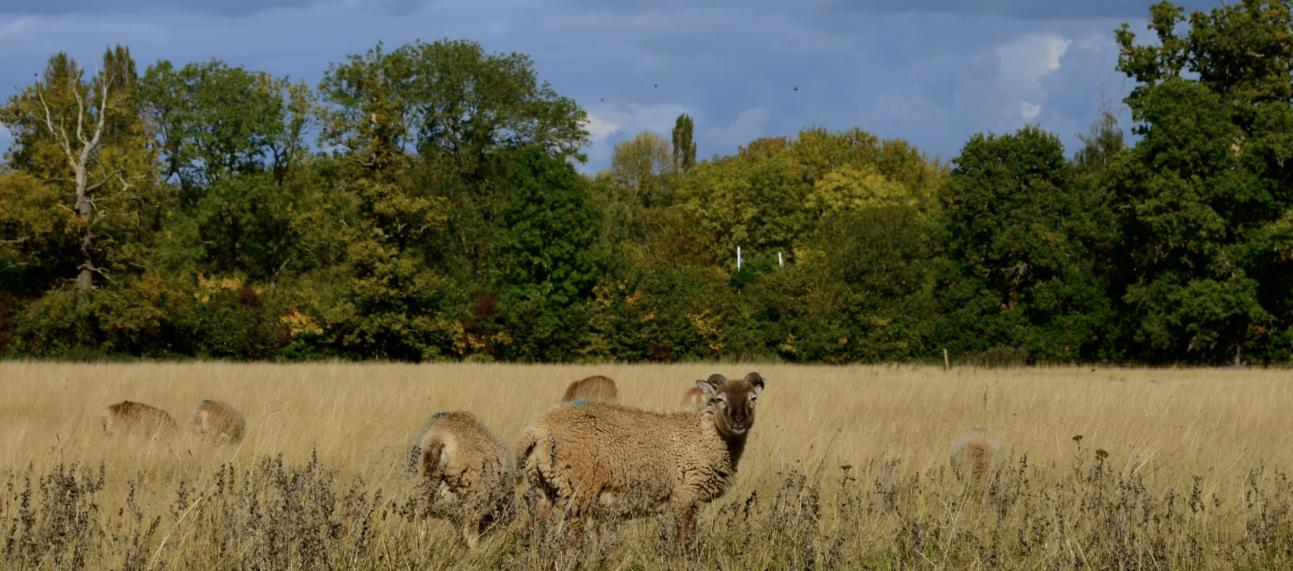Sheep at the Arboretum
