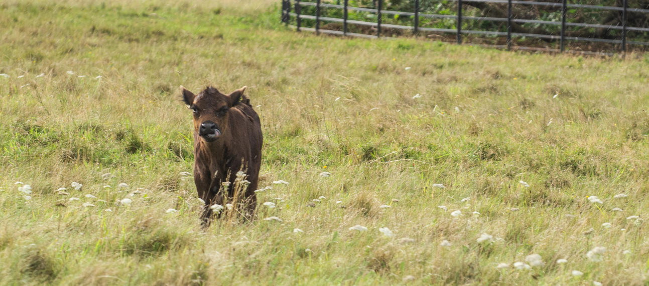harcourt arboretum  cattle  livestock  meadows