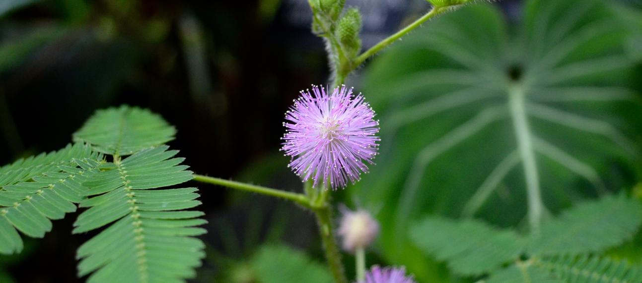 mimosa pudica and flower
