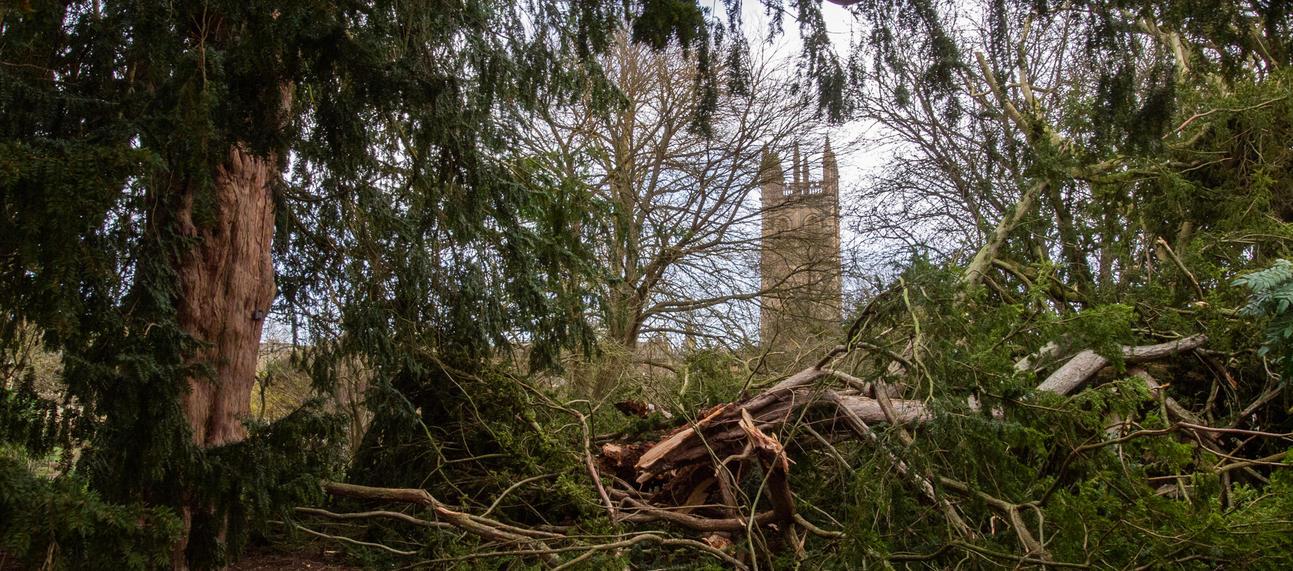 Yew tree and storm Ciara