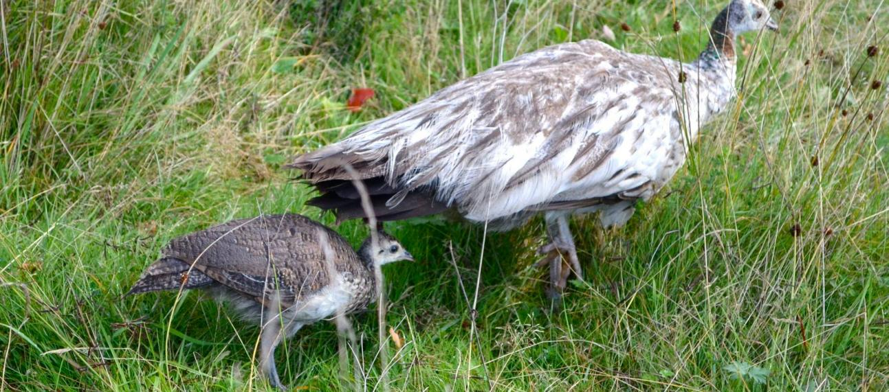 peahen and chick