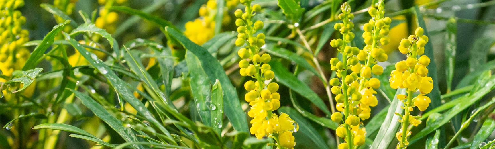 Mahonia, a winter flowering plant