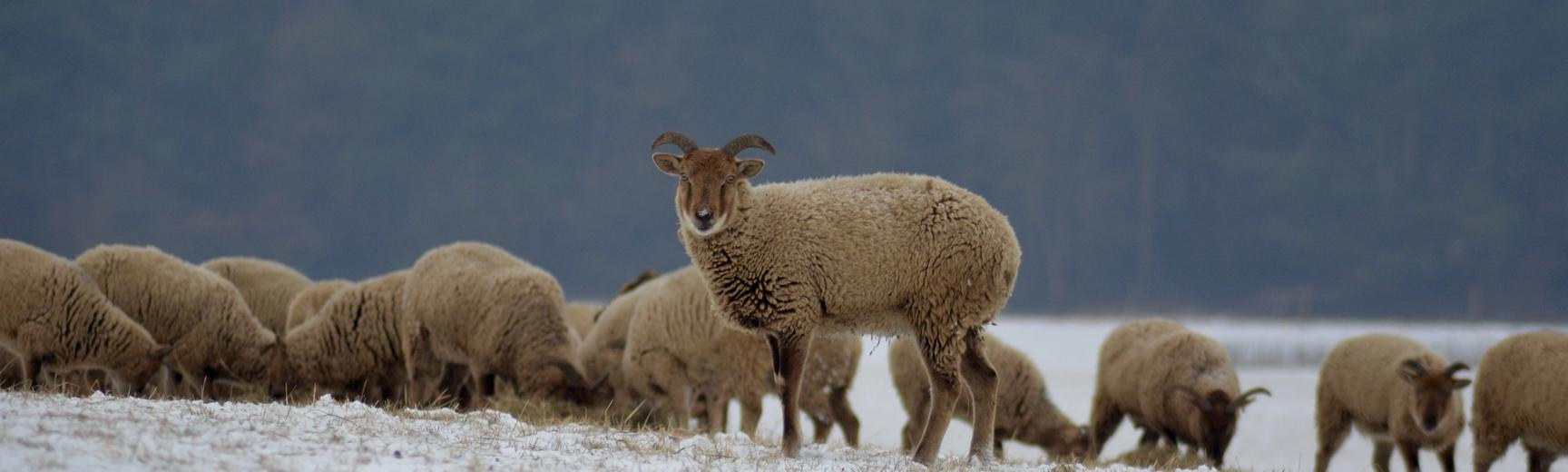 Winter Sheep Arboretum