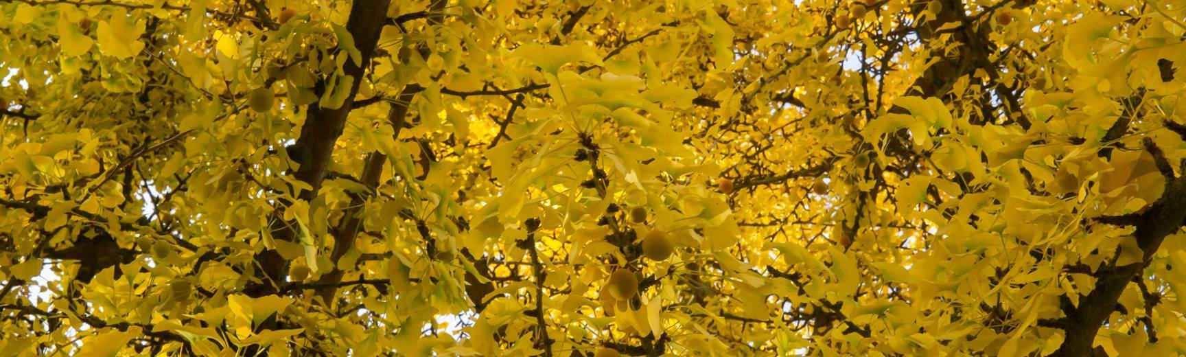 gingko tree at oxford botanic garden