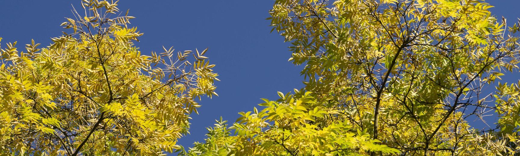 phellodendron amurense  arboretum  autumn