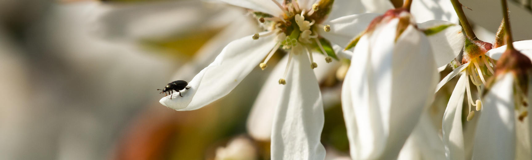 rosaceae amelanchier oxford botanic garden p1010059