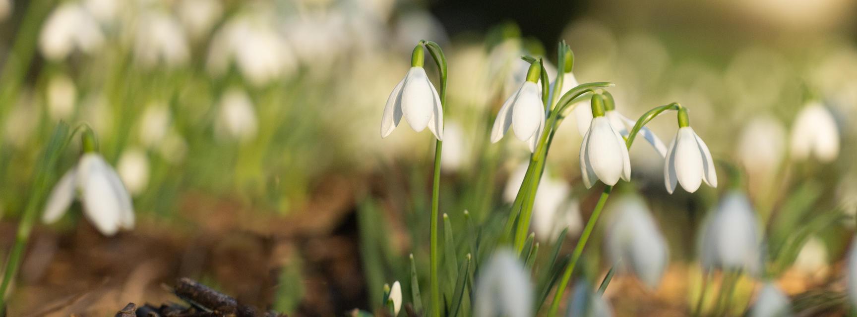 Snowdrops - Oxford Botanic Garden