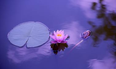 lotus in garden meditation yoga
