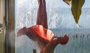 amorphophallus konjac  botanic garden  cloud forest  glasshouses