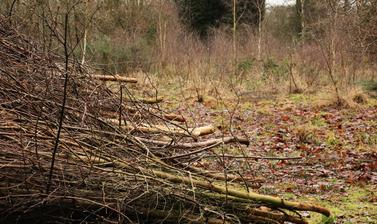 coppiced birch
