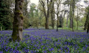 Bluebell Wood in May