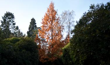 Dawn Redwood at the Arboretum