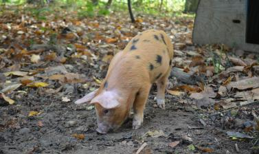 Piglet in the Coppice