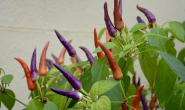 Chillies in the Conservatory