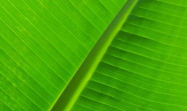 musa acuminata  botanic garden  rainforest house  glasshouse  leaf pattern