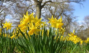 Daffodils at Harcourt Arboretum.jpg