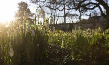 snowdrops garden p1012082
