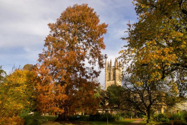 Dawn Redwood Oxford Botanic Garden