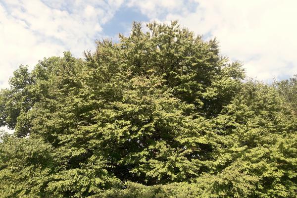 Katsura Tree in the Botanic Garden