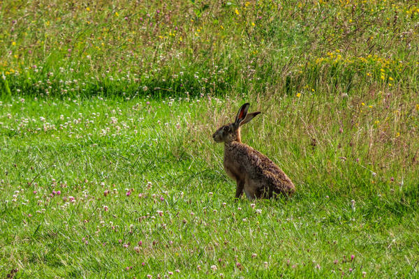 arboretum  meadow  hare  img 8808 2