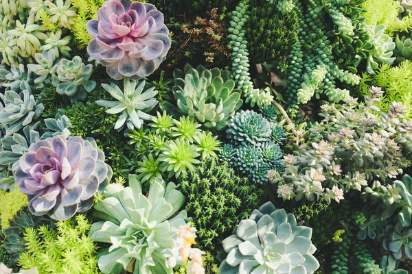 asl  succulent