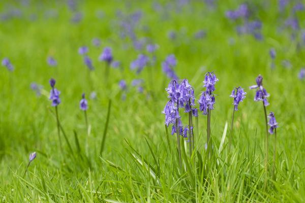 bluebell wood  harcourt arboretum  spring